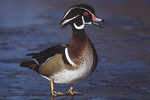 Adult male Wood Duck standing on ice in early December.