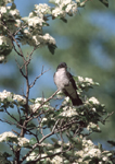 Eastern Kingbird in flowering hawthorn in May. The Eastern Kingbird nests in North America and winters in the neotropics.