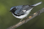 Male Black-throated Blue Warbler on spring migration in early May.