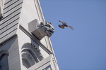 Adult Peregrine Falcon takes flight at Riverside Church in early June.