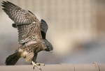 Fledgling Peregrine Falcon stretches its wings in late May. Brooklyn Bridge, New York, NY.