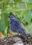 Singing male Blue Rock-Thrush in February.