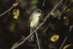 Eastern Phoebe on fall migration in mid-October.