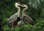 Great Blue Herons at nest.  Nestling, at right, soliciting food from adult.