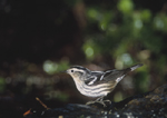 Female Black-and-white Warbler on spring migration in May.