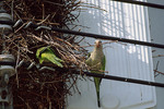 Monk Parakeets at nest.