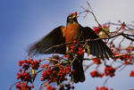 American Robin eating Hawthorn berry.