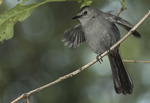 Gray Catbird fluttering its wings in June. The Gray Catbird nests in North America and winters as far south as the neotropics.