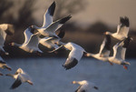Snow Geese (Anser caerulescens) in flight over the West Pond at Jamaica Bay.