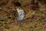 Ovenbird on spring migration in May.