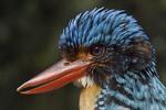 Banded Kingfisher (male). (CAPTIVE).
