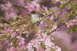 Eastern Phoebe perched in blooming crabapple in late April during spring migration.