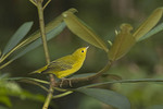 First fall Yellow Warbler perched in Rhododendron on fall migration at the beginning of August.
