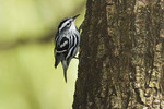 Adult male Black-and-white Warbler on fall migration in September.