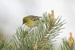 Adult female Pine Warbler on spring migration in April.