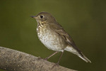 Gray-cheeked Thrush on fall migration in late September.
