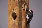 Male Acorn Woodpecker at nest in telephone pole in April.