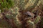 Cactus Wren at nest in Cholla cactus.