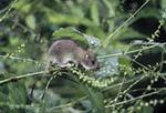 Young Norway Rat foraging in Virginia Knotweed.