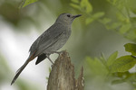 Gray Catbird. The Gray Catbird nests in North American and winters as far south as the neotropics.