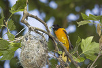 Male Baltimore Oriole brings food to its nest in a London Plane in early June.
