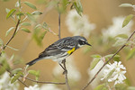 Yellow-rumped Warbler in blooming shadbush on spring migration in April.