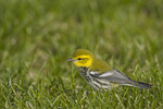 Black-throated Green Warbler on fall migration in October.