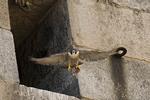 Adult female Peregrine Falcon leaving the nest, late June. Brooklyn Bridge, New York, NY.