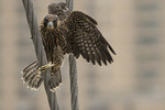 A young female Peregrine Falcon lands on a cable at the Brooklyn Bridge one day after fledgling in late June.