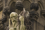 Red-tailed Hawk nestling. Cathedral of St. John the Divine. NYC.