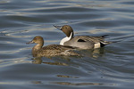 Northern Pintail Pair in late February, male at right.
