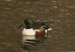 Male Northern Shoveler in early February.