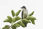 Eastern Kingbird perched near its nest in early July.  The Eastern Kingbird nests in North American and winters in the neotropics.