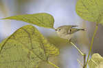 Male Ruby-crowned Kinglet in Catalpa in October on fall migration.