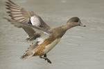 Female American Wigeon landing on a frozen pond in February.