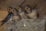 Barn Swallow nestlings waiting to be fed.