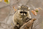 Raccoon on top of a hollow snag in December.