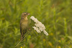 Adult Female Bobolink perched on Yarrow in early July.