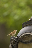 House Wren perched outside nest in lamp post. The House Wren nests in North American and winters in the neotropics.