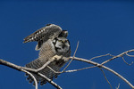 Northern Hawk Owl stretching. Late January.
