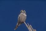 Northern Hawk Owl in late January.