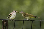 Red-eyed Vireo feeding fledgling. The Red-eyed Vireo nests in North America and winters in the neotropics.