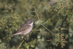 Lesser Whitethroat.