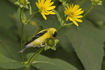Male American Goldfinch feeding on seeds of Cup-plant (Silphium perfoliatum).