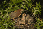 Green Herons at nest. Green Herons have nested in Central Park since 1996.
