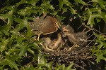 Green Heron feeding chicks. Green Herons have nested in Central Park since 1996.  Here a nestling bites the bill of the adult to induce it to regurgitate.