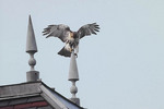 Juvenile Red-tailed Hawk negotiates a difficult perch on the roof of a pavilion at Belvedere Castle.