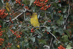 Male Scarlet Tanager in fall plumage, perched in Hawthorn in early October during fall migration.