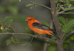 Male Scarlet Tanager in late May on spring migration.