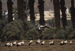 Migrating flock of White Storks at roost in a field near Eilat, ISRAEL in April during spring migration.